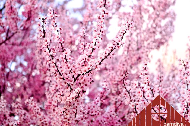 healdsburg-blossoms2