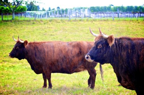 weleda steers