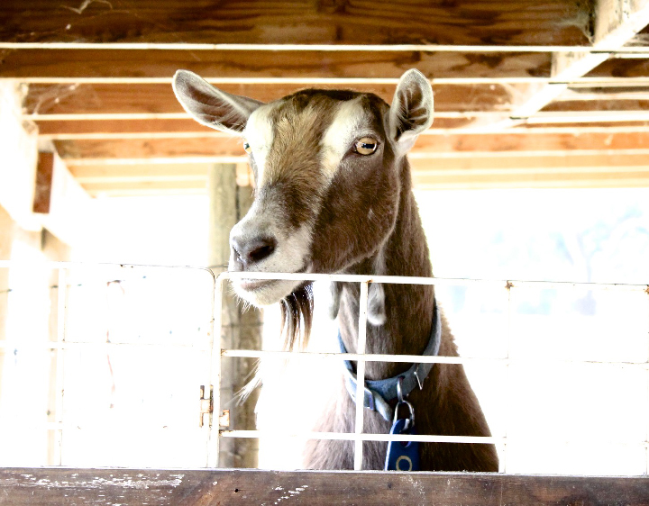 bright eyed goat